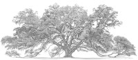 Stephen Malkoff's Print of the Lichgate Oak Tree